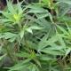 Marihuana y su legalización
